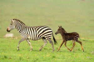 Tüpfelzebra mit Mutter