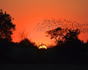Sonnenuntergang hinter einem Wald mit einem fliegenden Schwarm Vögel