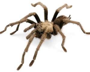 Große Spinne mit hellem Körper, dunklem Hinterkörper und teilweise dunklen Beinen