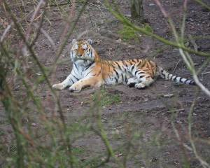 Tiger liegt unter einem Baum