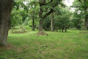 Hutewald: ein sehr offener Wald mit einzelnen großen Bäumen
