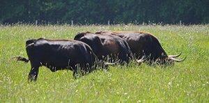 Weidende Heckrinder im hohen Gras