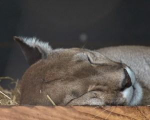 Ist ein Puma in Jütland?