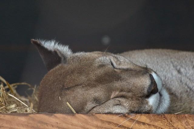 Gibt es Pumas in Dartmoore?