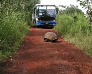 Schildkröte vor Bus
