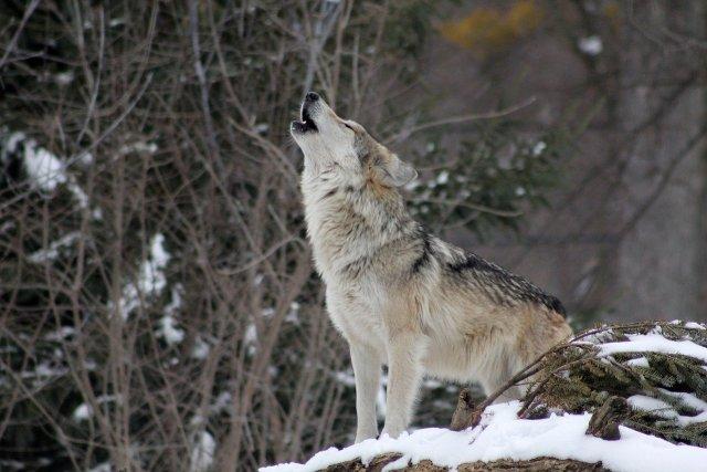 Sind sie für die Wolfsangriffe verantwortlich? Heulender Grauwolf