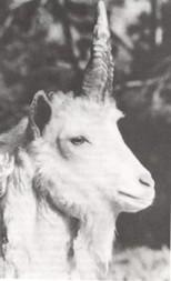 Portrait des Zell'schen Einhorns
