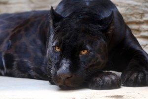 Schearzer Jaguar