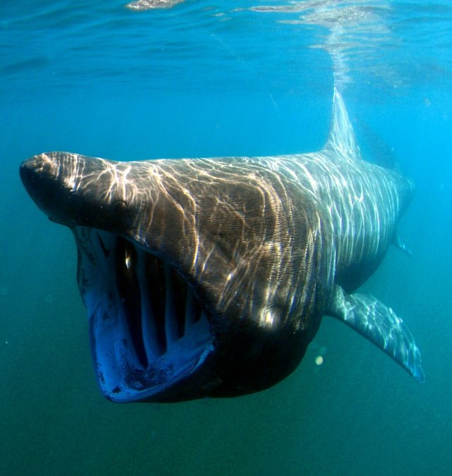 Der Riesenhai ist die zweitgrößte Haiart