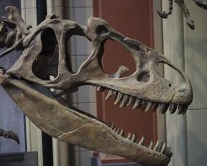 Allosaurus-Schädel
