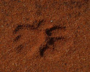 Fußabdruck eines Löwen