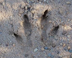 """Fußspur eines Wallabys, ähneln denen der """"Aussie Big Cats"""" sehr"""