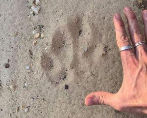 Fußspur der Aussie Big Cats im Sand