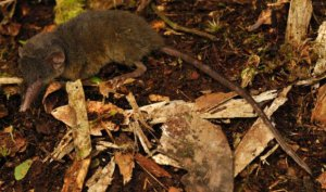 The Sulawesi hairy-tailed shrew (Crocidura caudipilosa). Image credit: Kevin Rowe, Museums Victoria.