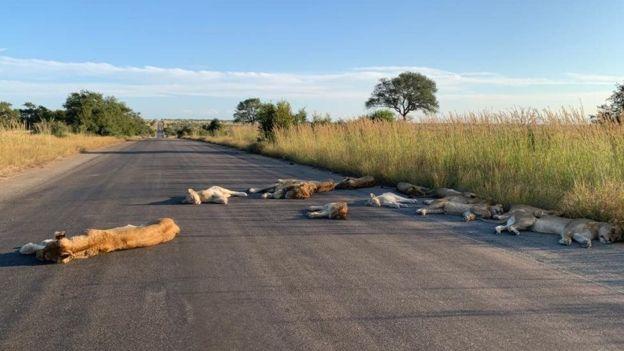 Schlafende Löwen auf der Straße
