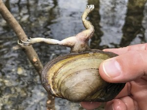 Frosch in Muschel