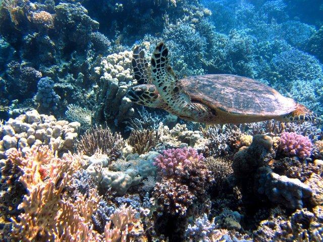 Korallenriff im Roten Meer, tödlich für Wasseraffen