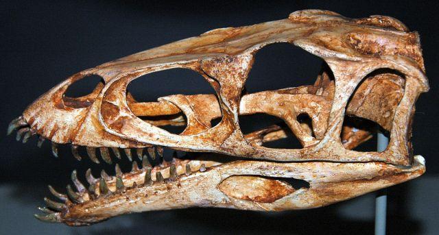 Schädel von Masiakasaurus knopfleri