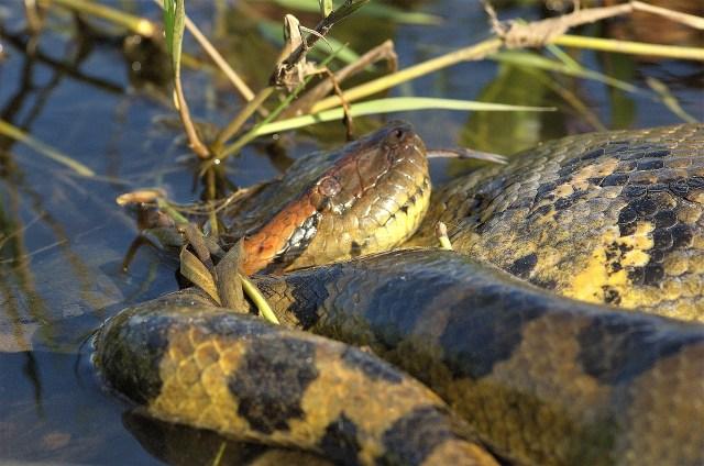 Anaconda im Wasser