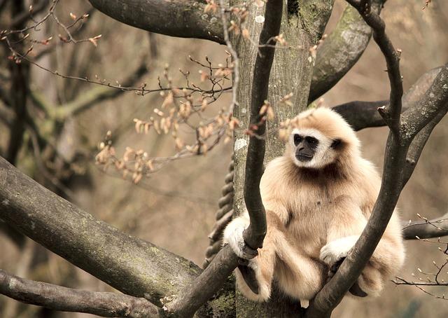 Weißhandgibbon, ist er der Orang Mawas?