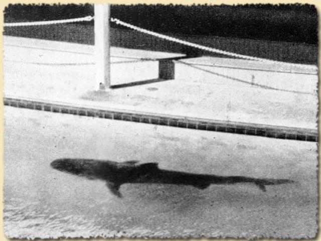 Der Tigerhai