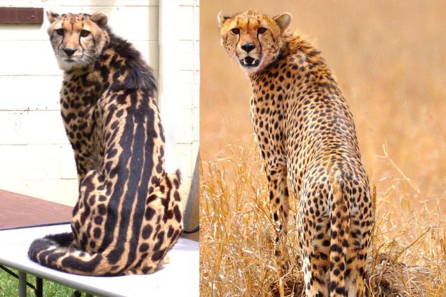 Vergleich Königsgepard vs. Wildtyp