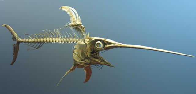 Schwertfischskelett