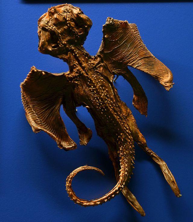 Jenny Haniver aus einem Nagelrochen