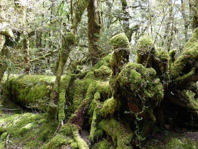 Regenwald Neuseelands