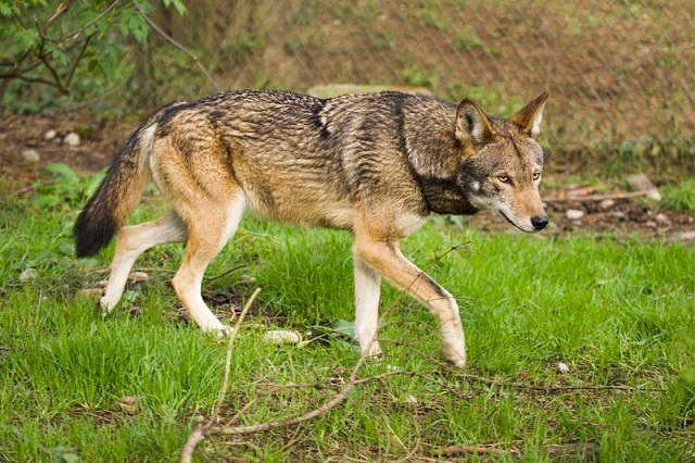 Rotwolf Canis rufus