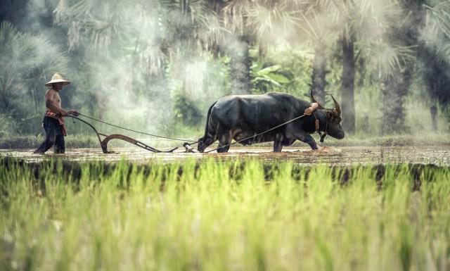 Büffel-Pflug
