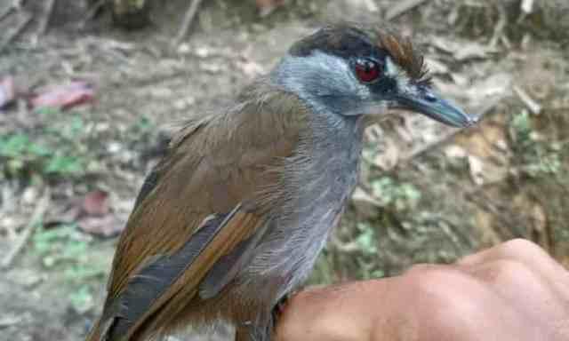 Der Schwarzbraun-Mausdrossling Malacocincla perspicillata