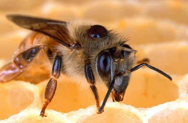 Varroa Milbe
