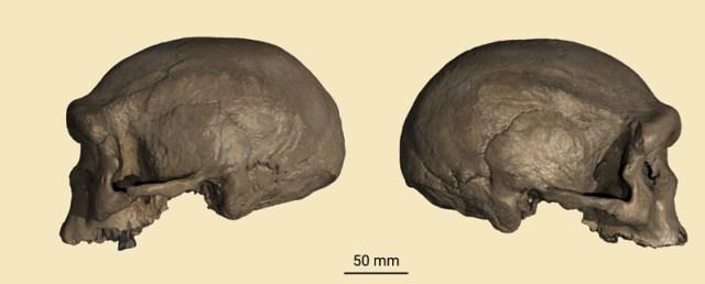 Harbin-Schädel von links und rechts