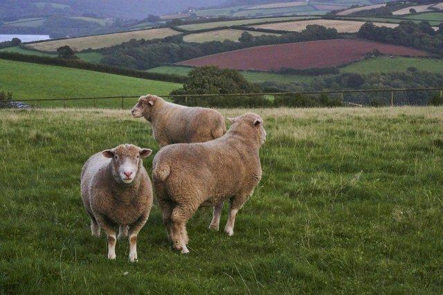 Schafe England, hier ist kein Platz für den Wolf