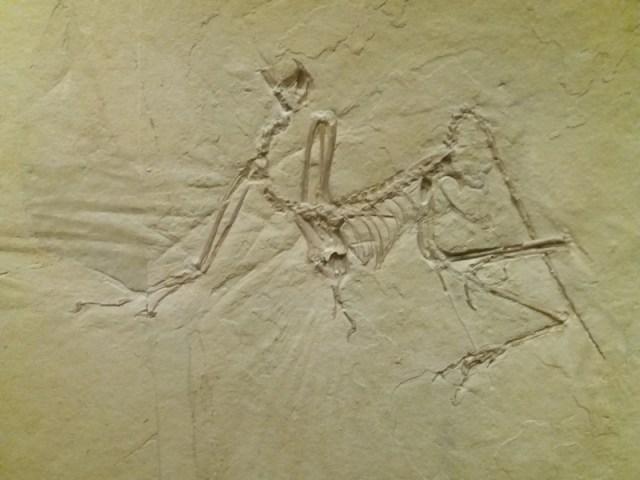 Archaeopteryx, Münchner Exemplar