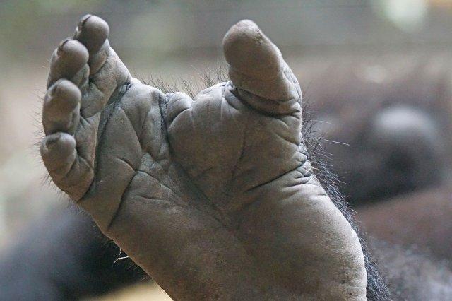 Gorilla-Fuß