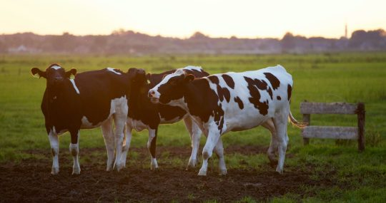Cow Acts as Antibody Factory to Fight against COVID-19