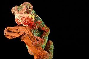 Der Feudalismus ist wandelbar wie ein Chamäleon. (Foto: Unsplash, Pixabay. CC0 Public Domain)