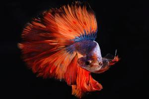 Ein Kampffisch kämpft gegen sein eigenes Spiegelbild. (Foto: Pietro Jeng, Unsplash.com)