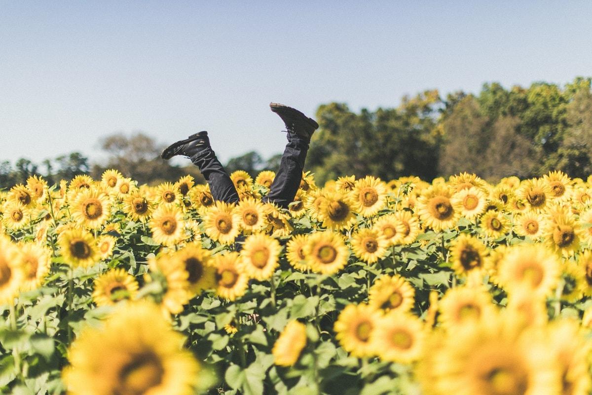 Ein Feld mit Sonnenblumen. (Foto: Derek Thomson, Unsplash.com)