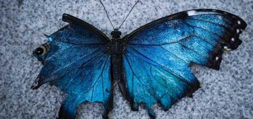 Blue and black Butterfly. (Foto: Beckett Ruiz, Unsplash.com)