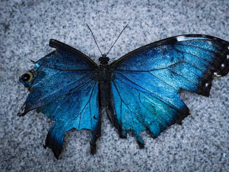 Blue and black Butterfly. (Foto: Beckett Ruiz, Unsplash.com)