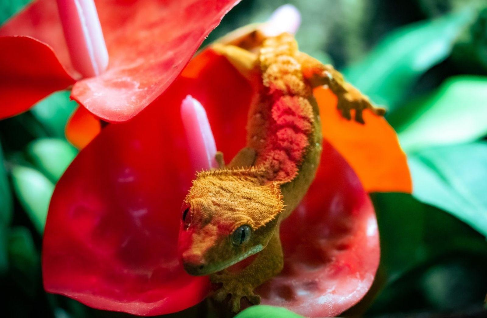 Ein Gecko auf einer Lilie. (Foto: Vitya Lapatey, Unsplash.com)
