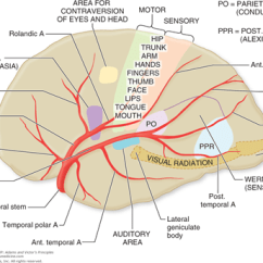 Internal Brain Diagram Pace American Cargo Trailer Wiring Chapter 34. Cerebrovascular Diseases   Neupsy Key