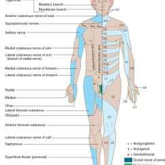 L4 Nerve Pain Diagram Bohr Rutherford For Beryllium Sensory Disorders Neupsy Key