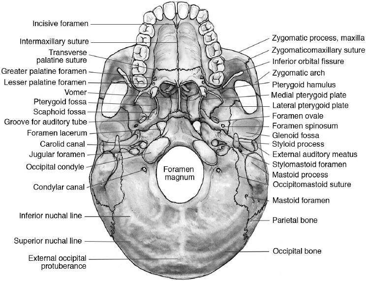 Skull Base Sutures Anatomy