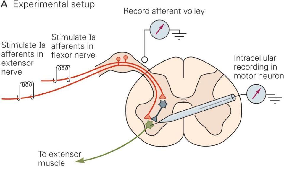Spinal Reflexes | Neupsy Key