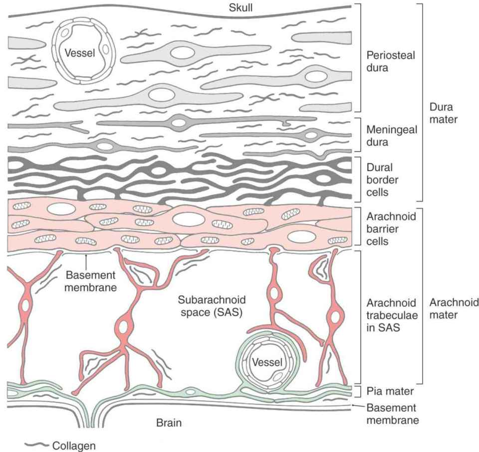 The Meninges Neupsy Key It is relatively very thin and fragile. the meninges neupsy key