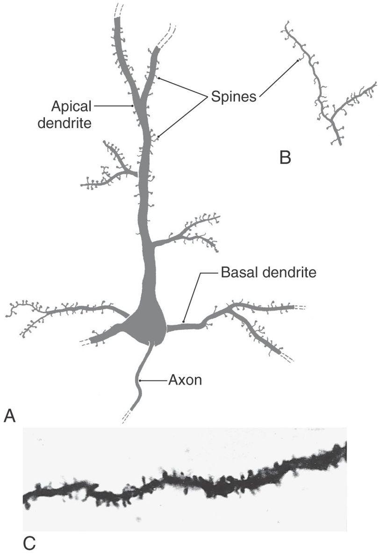 The Cerebral Cortex | Neupsy Key